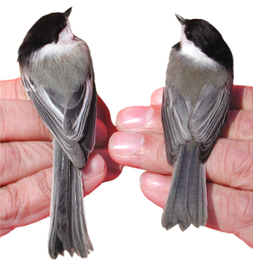 Black-capped Chickadee (left), Carolina chickadee (right). (Image linked from Robert Curry Lab Research website. Click on the image to see the original in context)